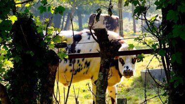 Propriété Privée ! Vache de garde